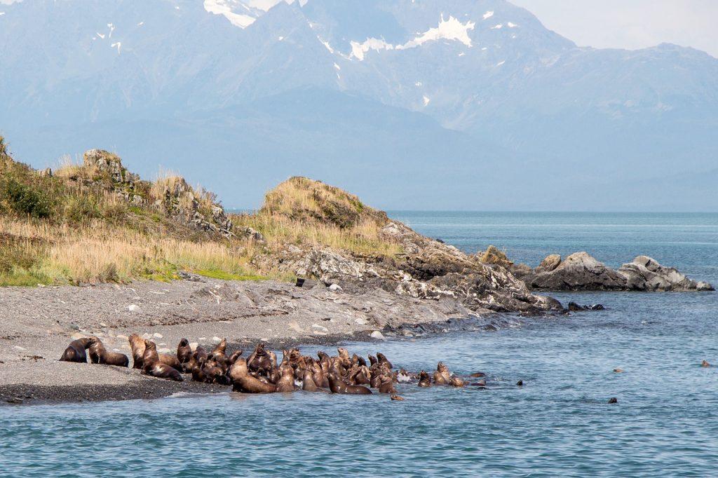 Alaska Sea Lions